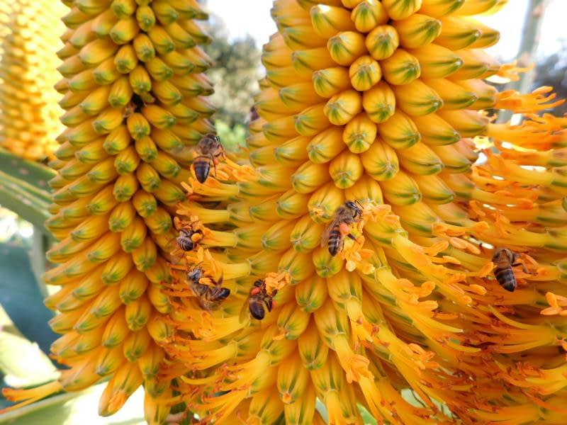 Dune Aloes